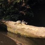 Gelbwangen-Schmuckschildkröte_2